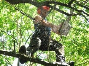diseased tree surgery in kent